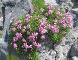 Schneeberg (2076m) - gyönyörű alpesi virág