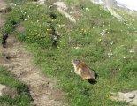 Grossvenediger (3666m) - túránkat végig szelíd mormoták kísérik