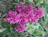 Rax-Alpok: Heukuppe(2007m) - szép, alpesi virág