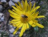 Schneepalpe: Windberg(1903m) - alpesi virág