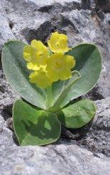 Rax-Alpok: Preinerwandsteig - szép alpesi virág