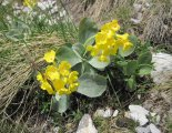 Kaiserschild klettersteig - gyönyörű alpesi virág
