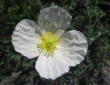 Schneeberg(2076m) - gyönyörű alpesi virág